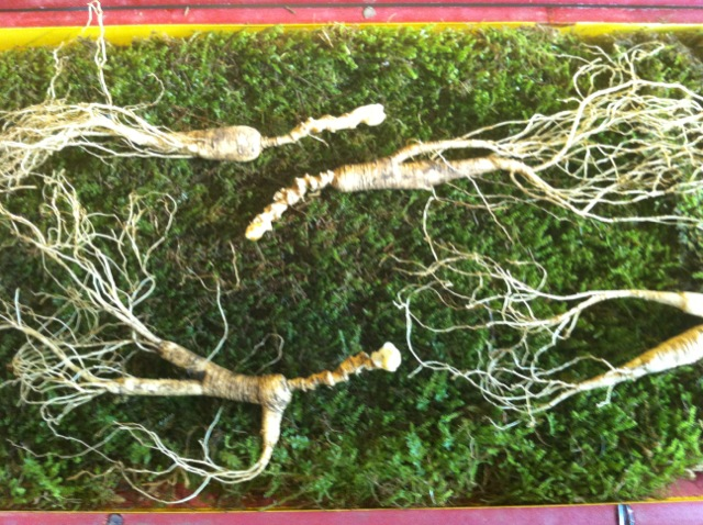 fresh ginseng root on moss